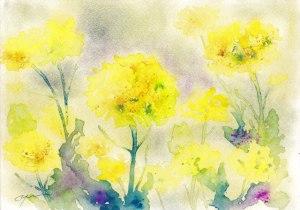 1704菜の花